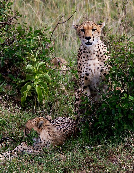 Cheetahs by Keith Davey