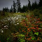 Near Daylight ~ Shasta Daisy and Vine Maple ~ by Charles & Patricia   Harkins ~ Picture Oregon