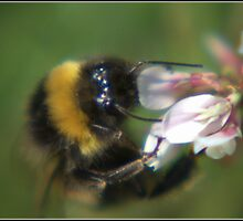 Bumble Bee In Clover by ReidOriginals
