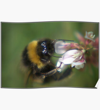 Bumble Bee In Clover Poster