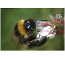 Bumble Bee In Clover Photographic Print
