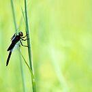 Dragonfly by Carrie Bonham