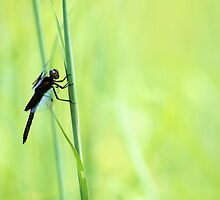 Dragonfly by Carrie Bonham