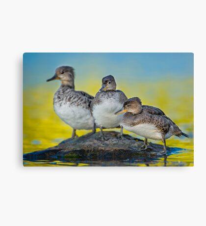 Meet the Mergansers Canvas Print