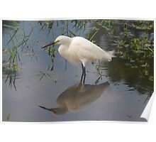 Snowy egret on mirror lake Poster