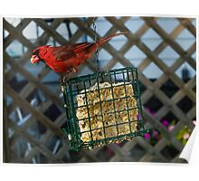 Cardinal at My Feeder Poster
