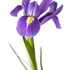 Single Blue Iris by Ellesscee
