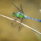 Blue/Green Dragonfly by Colin Bester