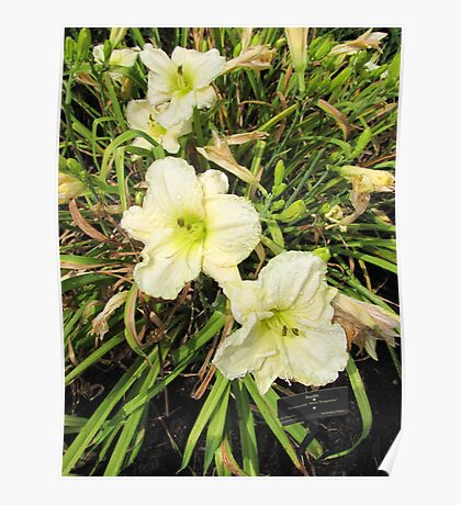Sprinkled daylilies Poster