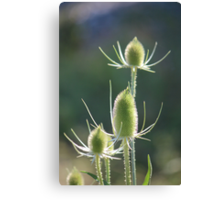 Common Teasel Canvas Print