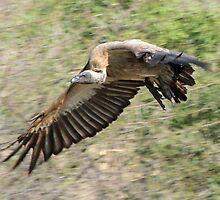 White backed vulture in flight by jozi1