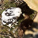 feeding golden eagle chick by Robbie Knight