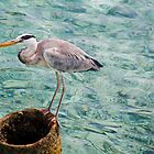 Curious Heron. Maldives by JennyRainbow