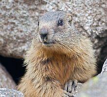 The Marmot's Back! by Krys Bailey