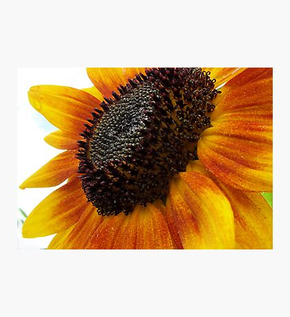sun flower macro Photographic Print
