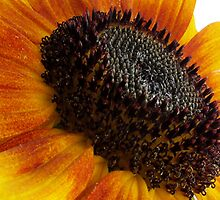 sun flower macro by Enri-Art