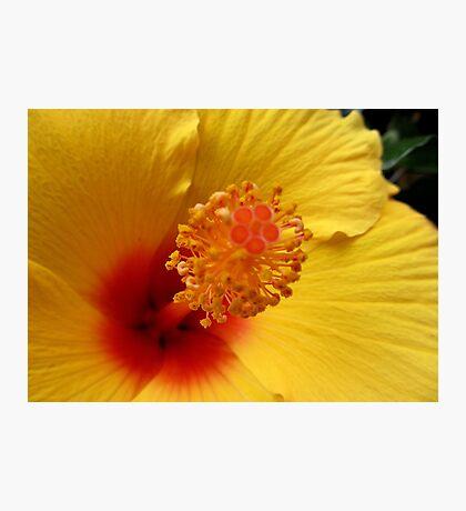 Hibiscus macro Photographic Print