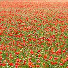 surrounded by poppies, Piano Grande, Umbria by Andrew Jones