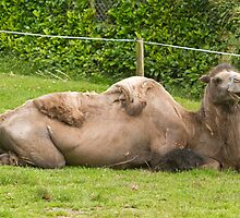 Bactrian Camel in Paignton Zoo Devon by Keith Larby