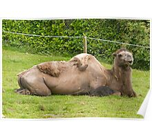 Bactrian Camel in Paignton Zoo Devon Poster