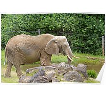 An African Elephant at Paignton Zoo, Devon Poster