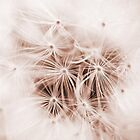 Dandelion Seedhead by Ellesscee