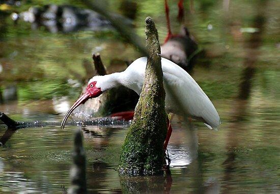 White Ibis Fishing by Kathy Baccari