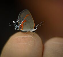 A Great Spot To Rest--Red Banded Hairstreak by Joe Jennelle