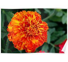 Orange Burst Flower Poster