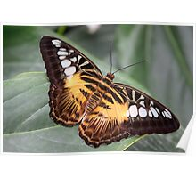 Clipper - Parthenos sylvia Poster