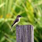 FLYCATCHER by TomBaumker