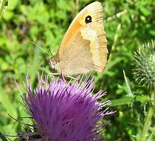 butterfly on a globe thistle by Enri-Art
