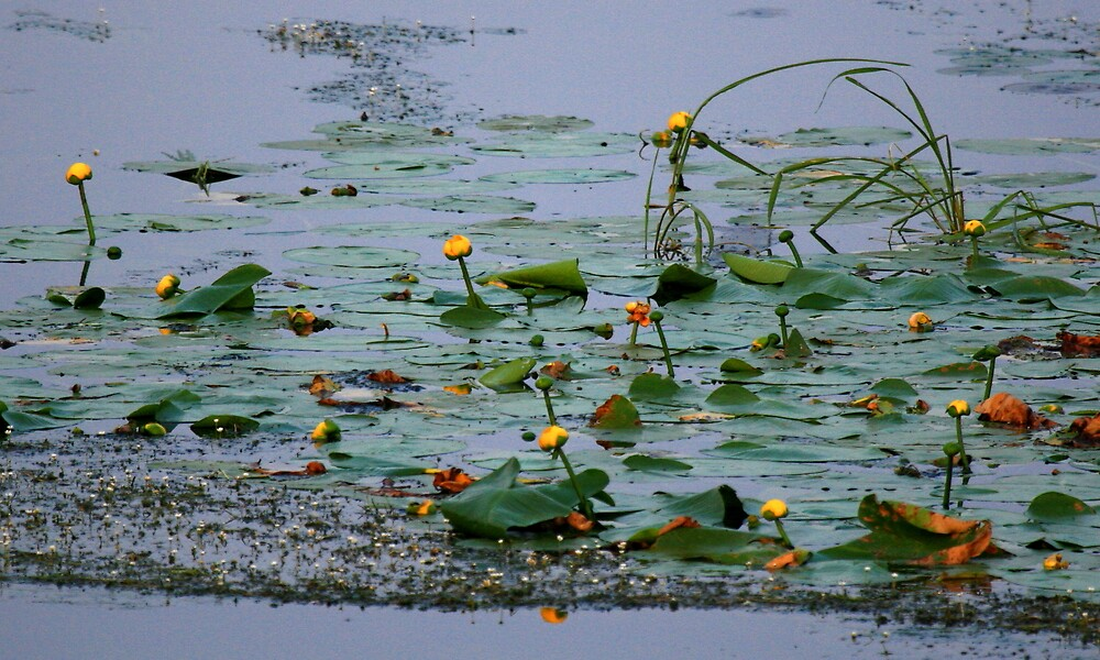"""""""  Yellow Pond Lilies  """" by fortner"""