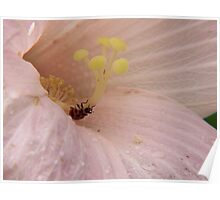 Bean Leaf beetle in Rose Mallow Poster