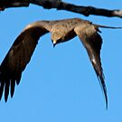 Black Kite, Adels Grove, Lawn Hill National Park, Queensland by Adrian Paul
