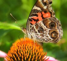American Lady Butterfly by Sharon Woerner