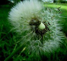 Dandelion by Debbie Robbins