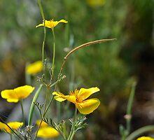 Yellow Poppy by HanieBCreations