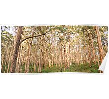 OLD KARRI FOREST, MARGARET RIVER Poster