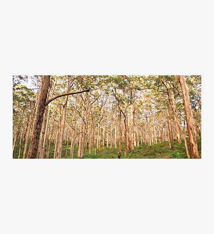 OLD KARRI FOREST, MARGARET RIVER Photographic Print
