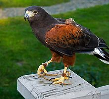 Harris's Hawk - - Cards by Maria A. Barnowl