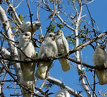 Little Corellas - Longreach outback Queensland.  by Margaret Stanton