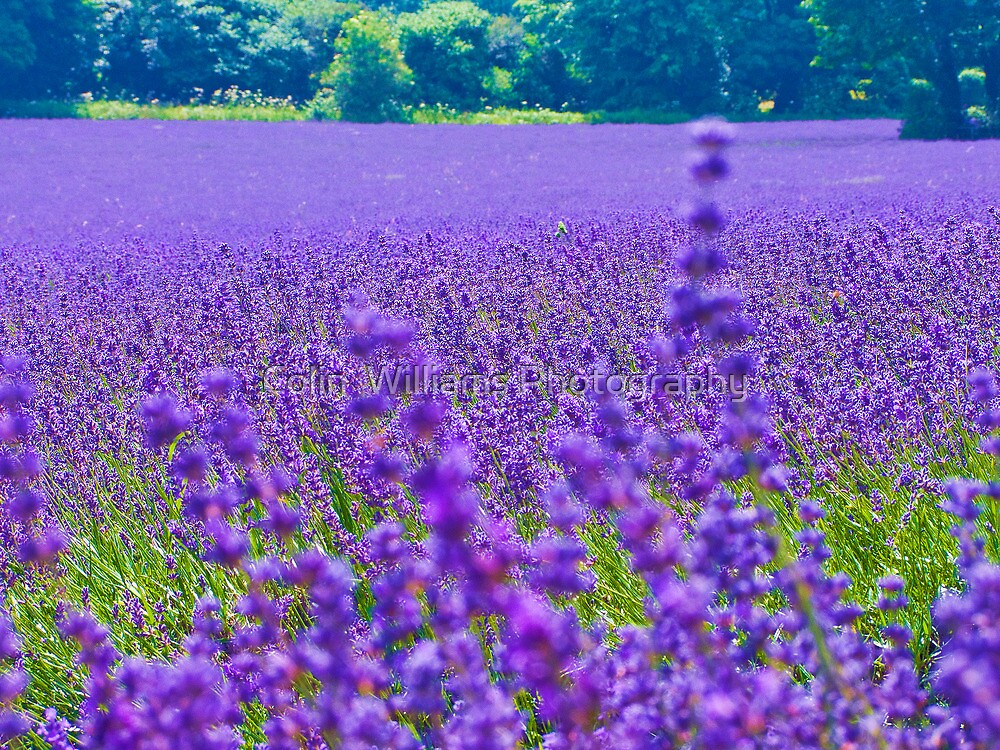 Mayfield Lavender Fields 4 by Colin  Williams Photography