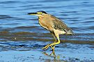 Striated Heron on the Beach by Alwyn Simple