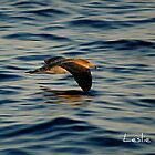 Cory's shearwater flying over the blue Mediterranean, Malta by leslievella64