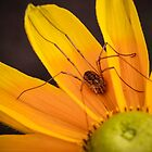 Daddy Long Legs On A Yellow Daisy by Christy Patino