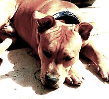 Lazy Staffy. by STAFFYBULL