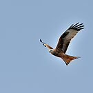 Red kite in flight by pixelnest
