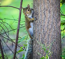 Oak Park Squirrel by Christy Patino