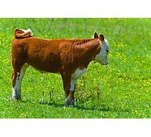 Baby Calf Photographic Print